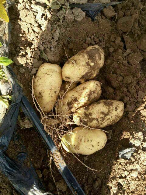 河南开封市通许县荷兰十五土豆种子 原种批发_张拼搏