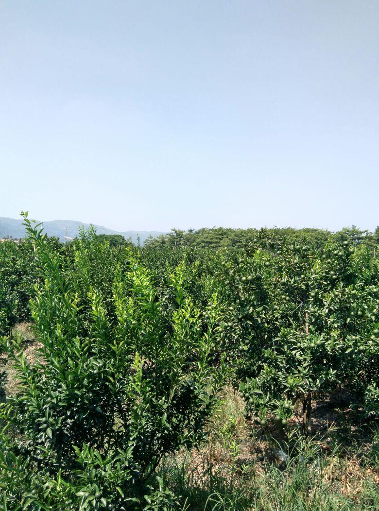 """我市柑桔专家郑树雄于1954年在蕉柑品种中选育""""白糖蕉柑""""良种,该品"""