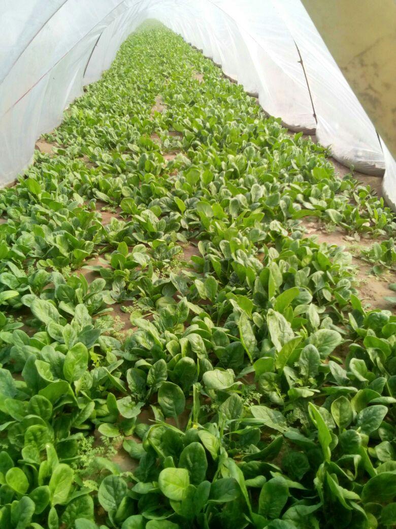 壁纸 成片种植 风景 植物 种植基地 桌面 780_1040 竖版 竖屏 手机