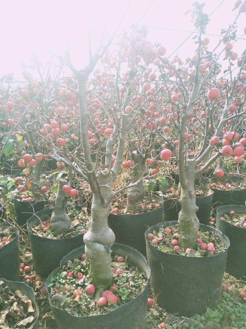 供应大厅  花卉盆景  海棠盆景  海棠盆景 不含盆