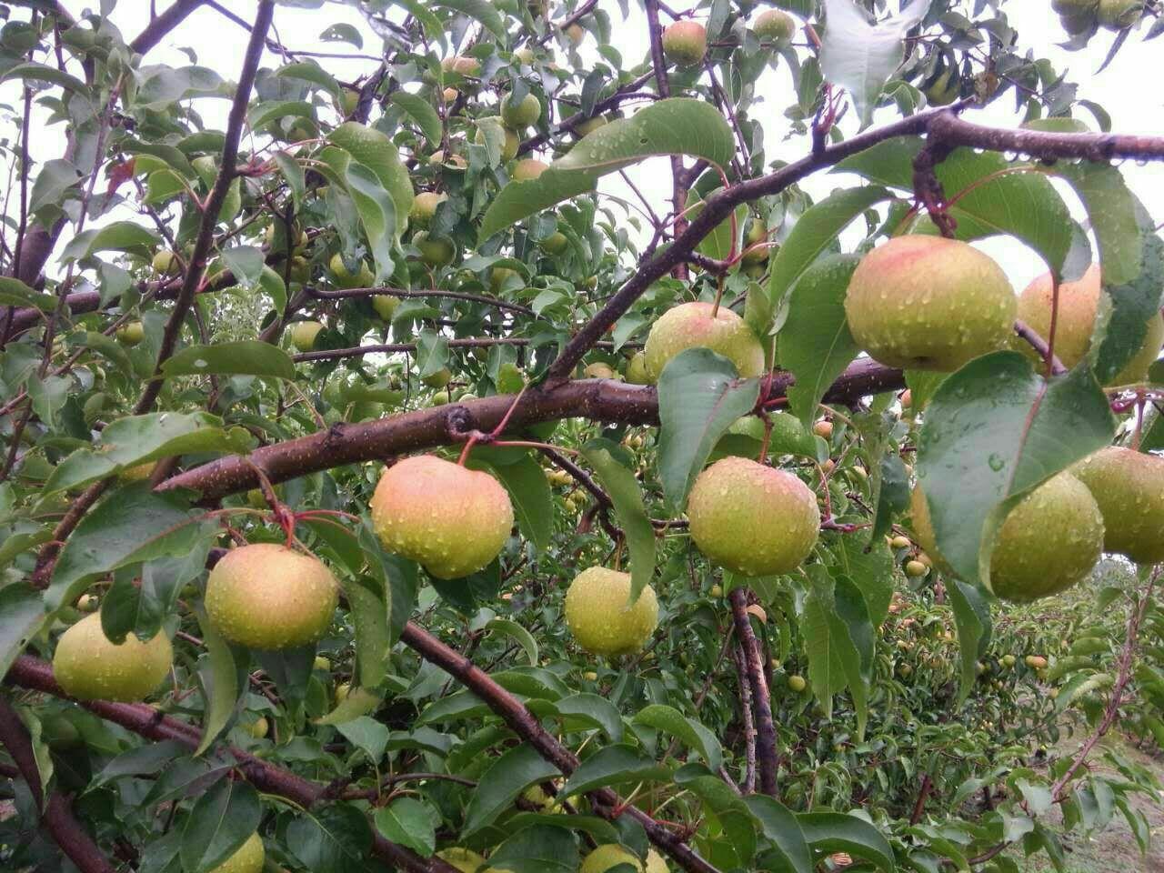 苹果梨 350~400g 光果