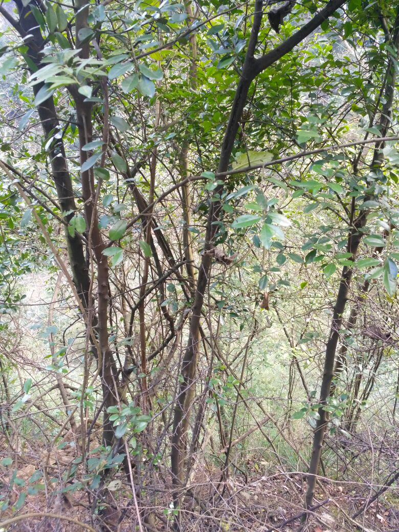供应大厅  花卉盆景  柿子树盆景  柿子树盆景 80~100cm  高度: 80