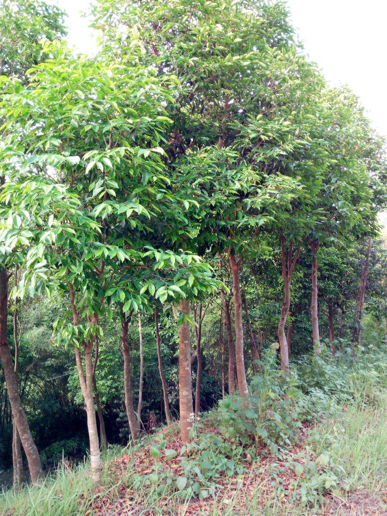 供应大厅  绿化苗木  沉香木  沉香树  沉香树 141~170cm  高度: 141