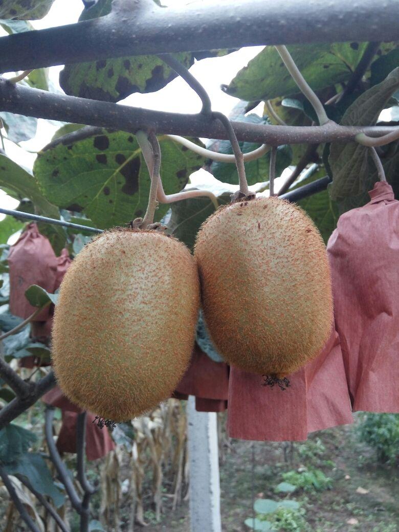 海沃德猕猴桃 90~100克图片