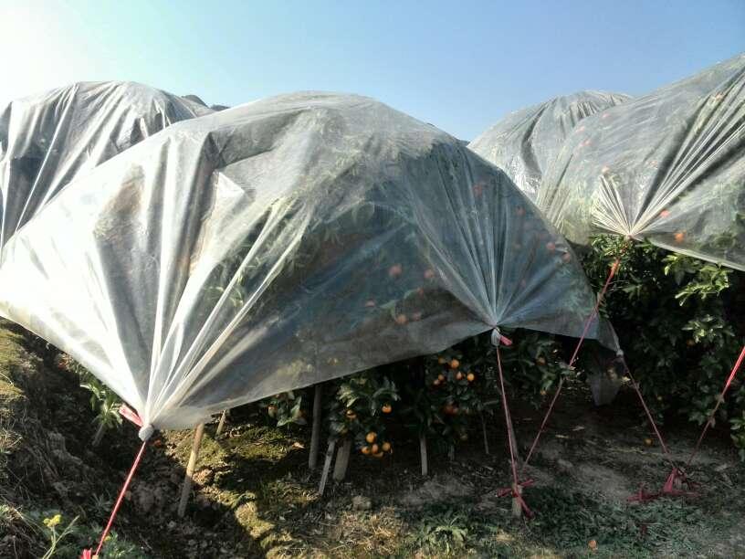 广西永福县砂糖橘单个重:0.2两以上