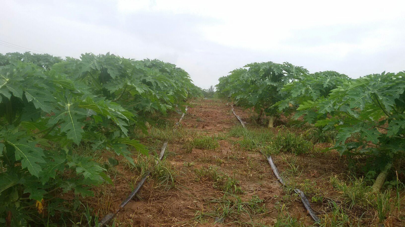 大白木瓜 1.5~2斤