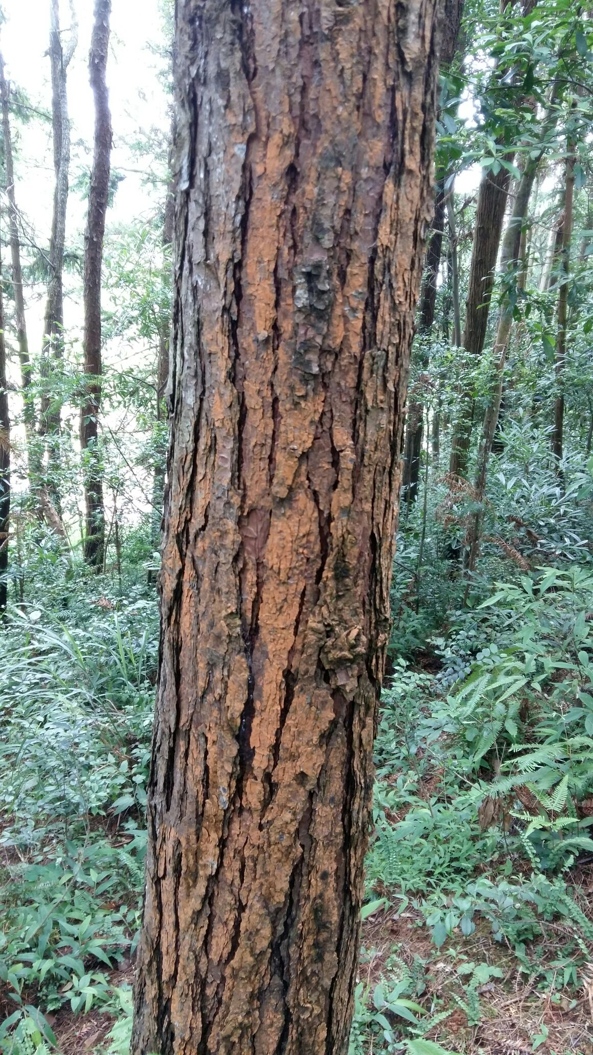 松木树图片大全