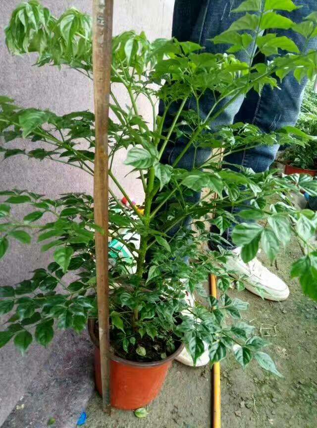 供应大厅  花卉盆景  幸福树  幸福树 50~80cm  货品详情 产地行情 市