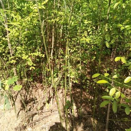 安徽滁州市来安县国槐苗 地栽苗 80cm以上批发_朱坤林图片
