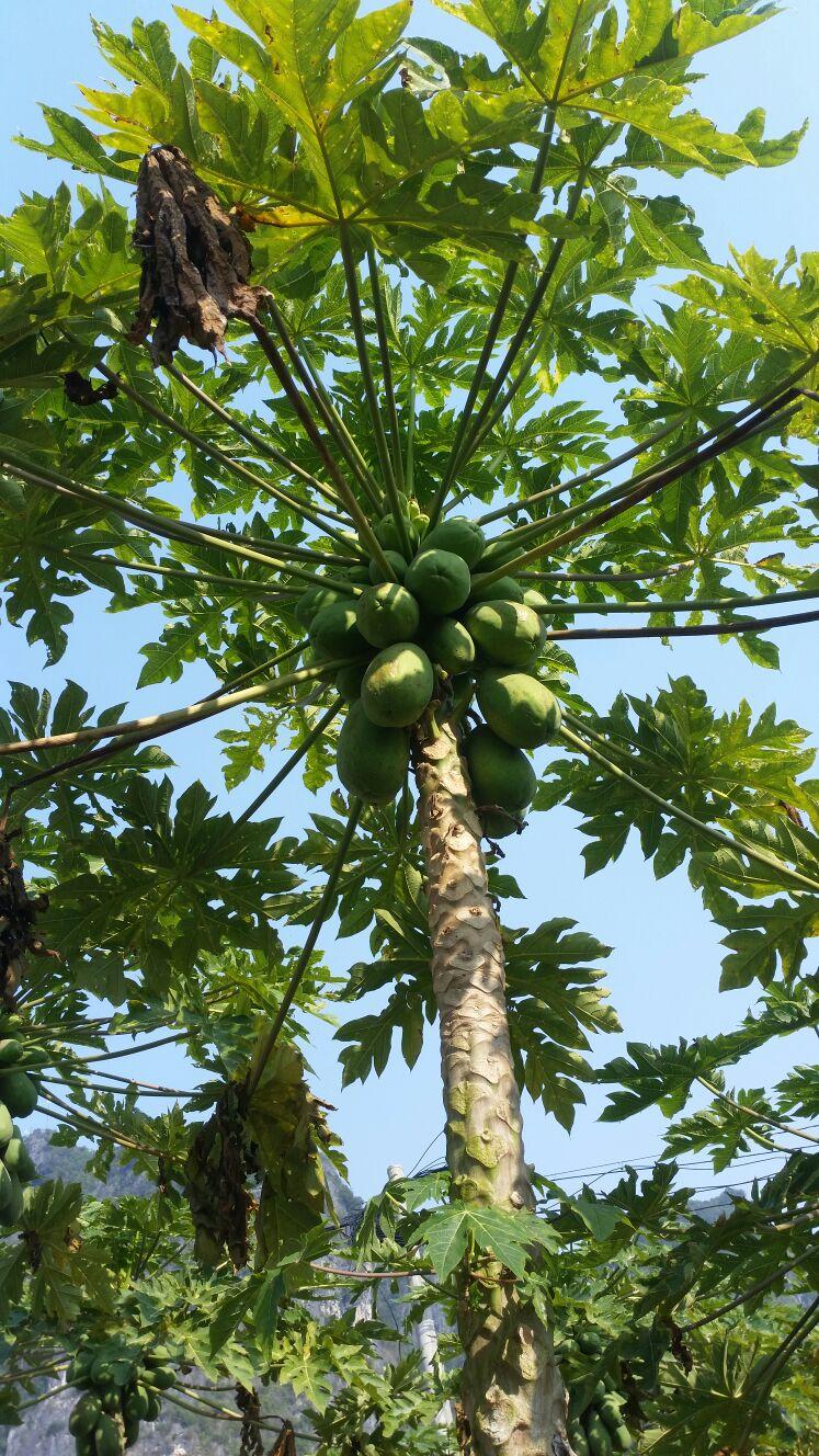 大白木瓜 1~1.5斤