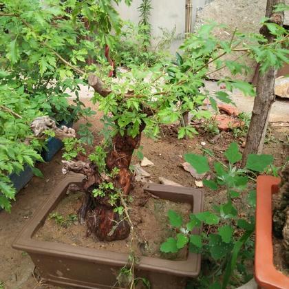 供应大厅  花卉盆景  幸福树  幸福树 20~30cm  山东烟台市龙口市