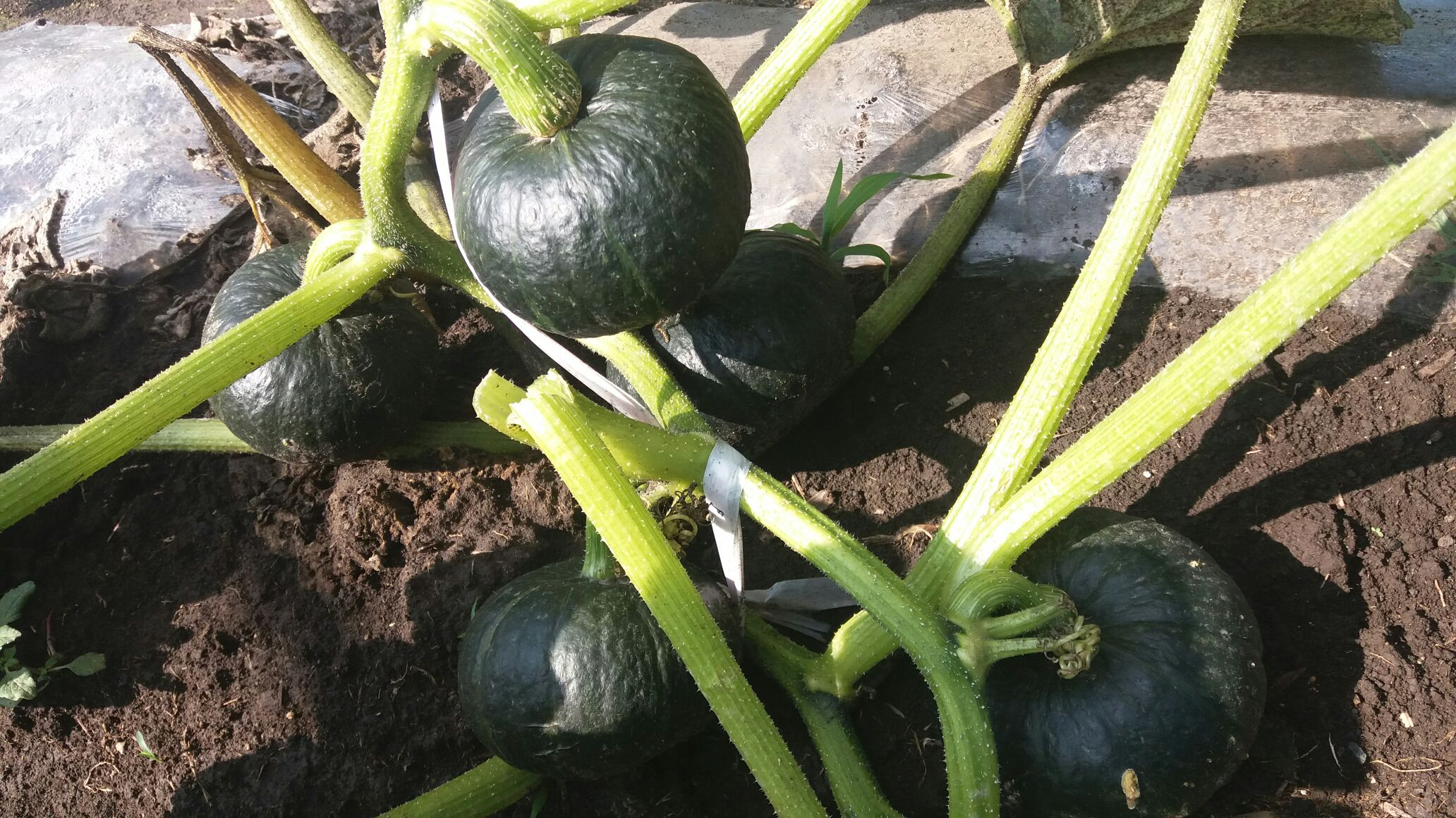 绿贝贝南瓜