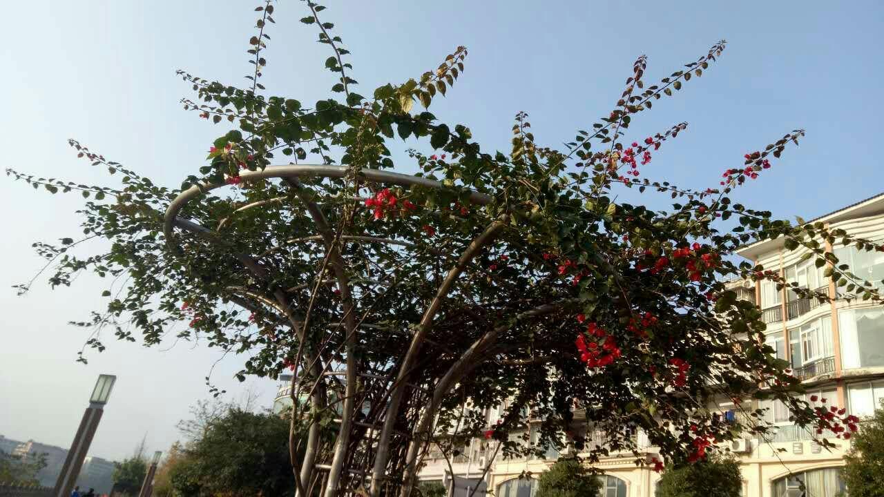 柿子树盆景 80~100cm