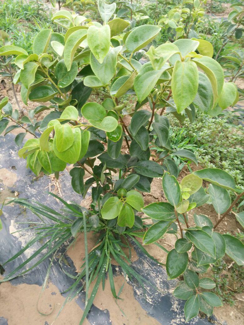 柿子树盆景 30~50cm