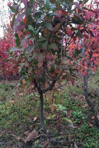 山东威海市苹果树 4~6cm 4~6cm 1.5~2米批发_孔女士