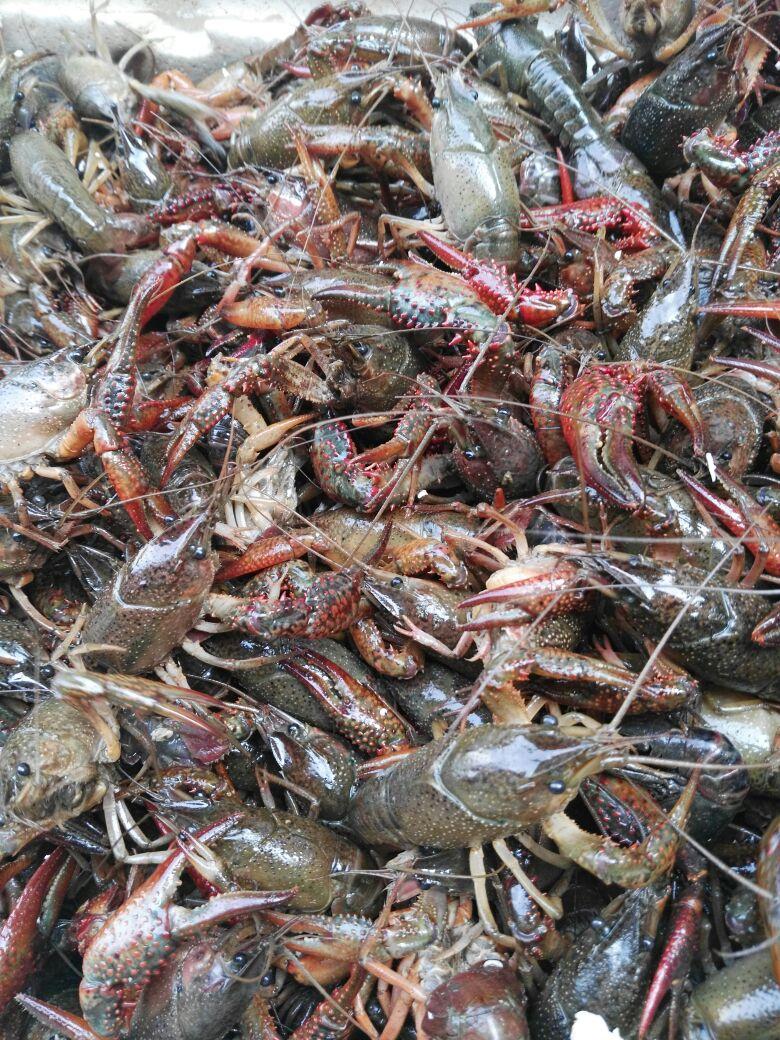 清水塘野生小龙虾,底板干净,肉质饱满!