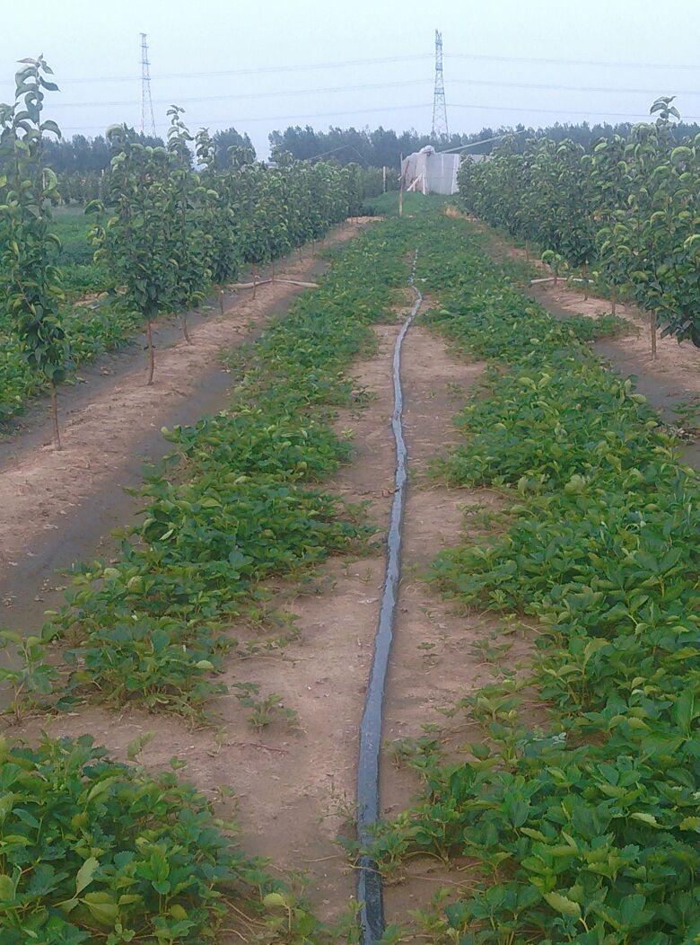 山东青岛市平度市甜宝草莓苗