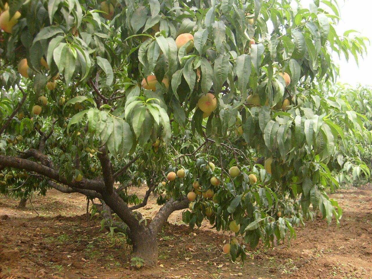 桃树苗 80cm以上