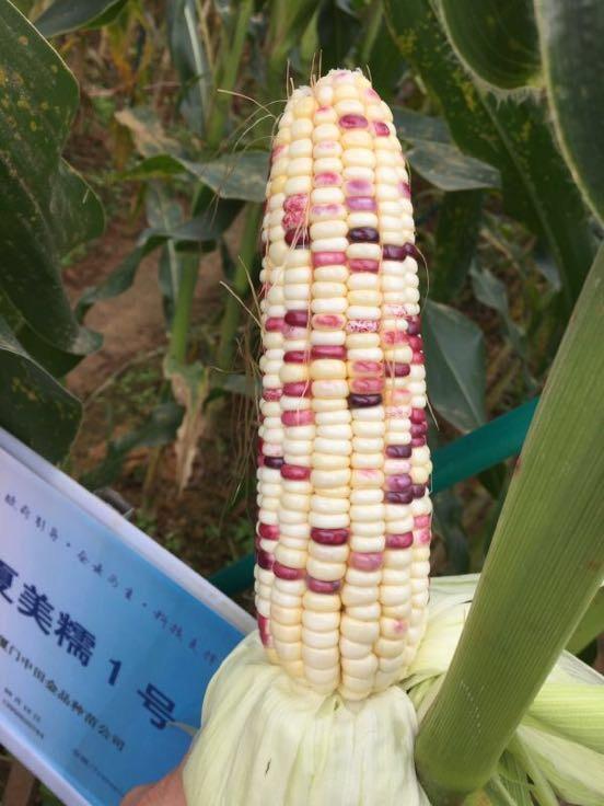 甜玉米种子