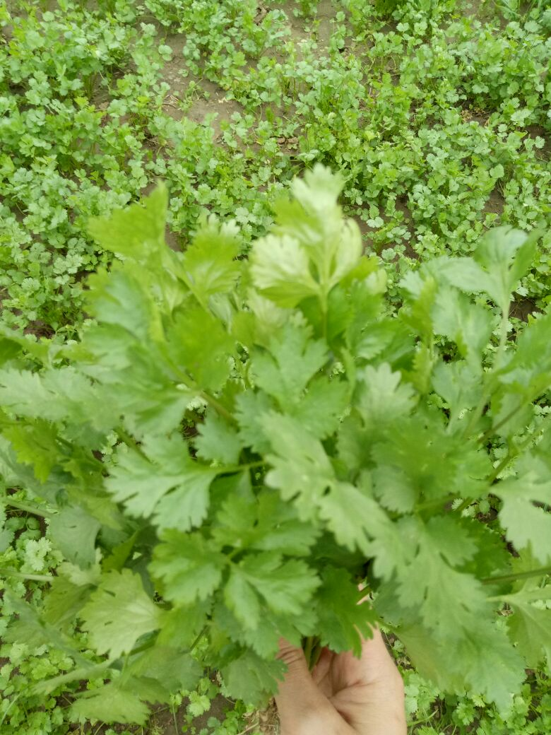 背景 壁纸 成片种植 风景 绿色 绿叶 树叶 植物 种植基地 桌面 780