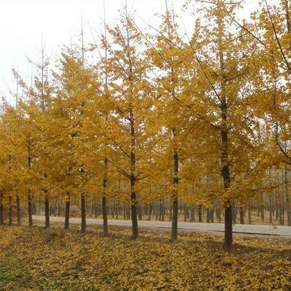 安徽宿州市砀山县银杏树 20cm以上 4米以上 1~2米批发