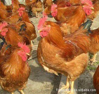 鸡的成长周期