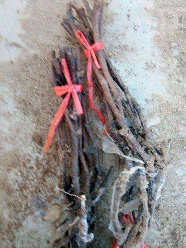 辽宁葫芦岛市兴城市红芭拉蒂葡萄苗 1年批发_李刚供应