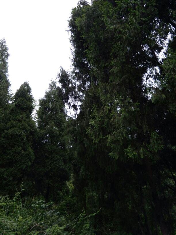 松树 612_816 竖版图片