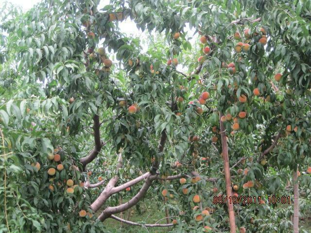 黄桃树ps素材