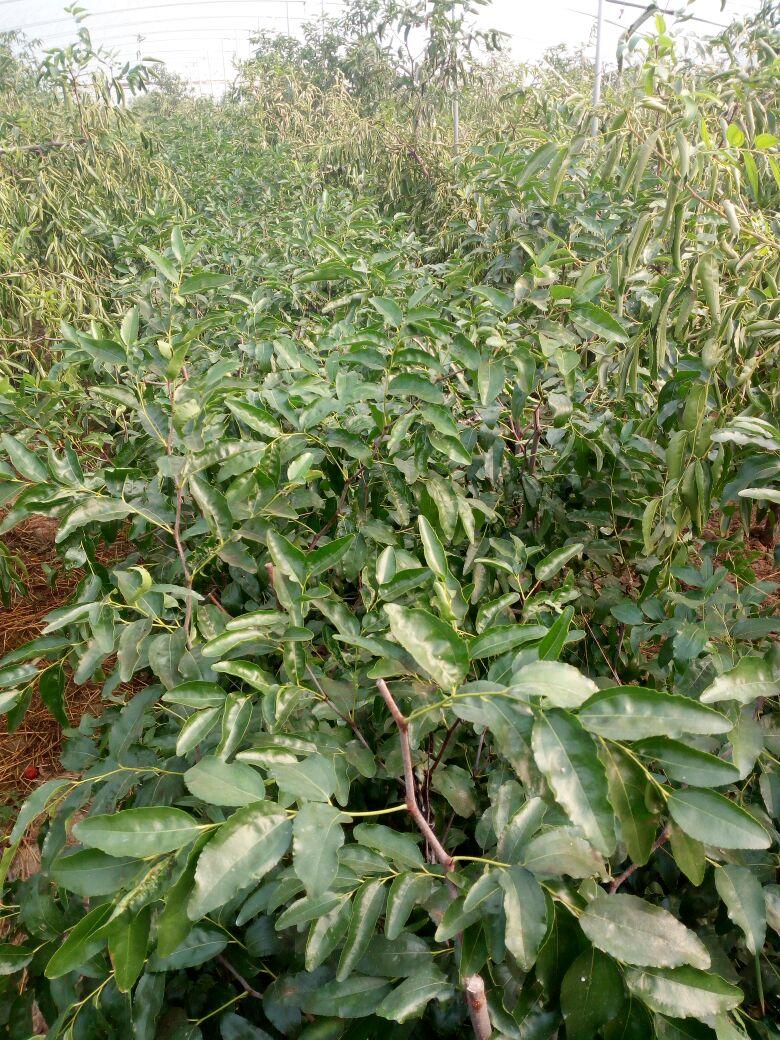 冬枣树苗 80~110cm