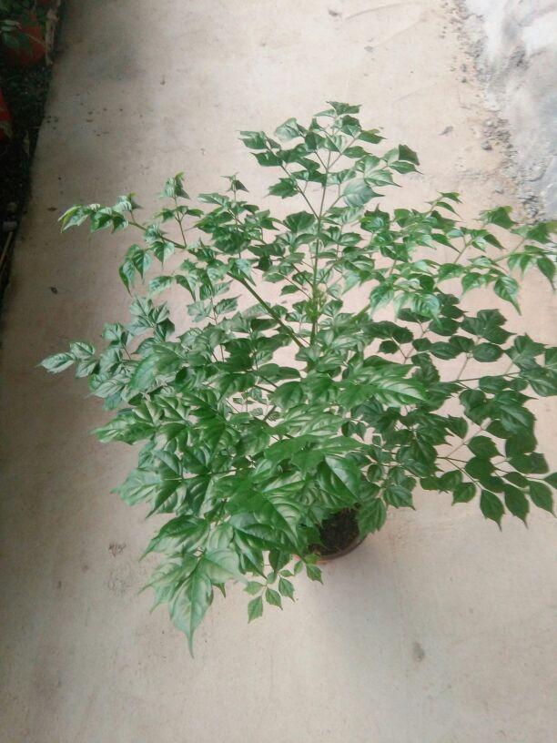 供应大厅  花卉盆景  幸福树  幸福树 50~80cm  货品详情