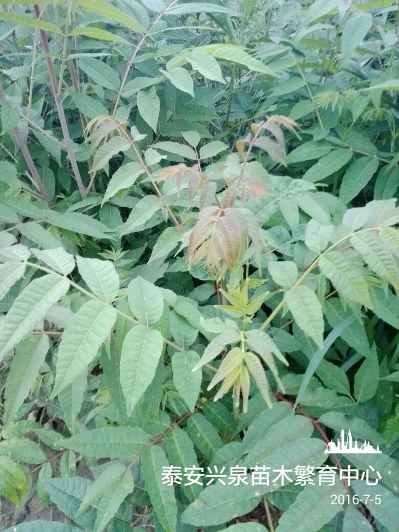 叶子像椿树芽的盆景