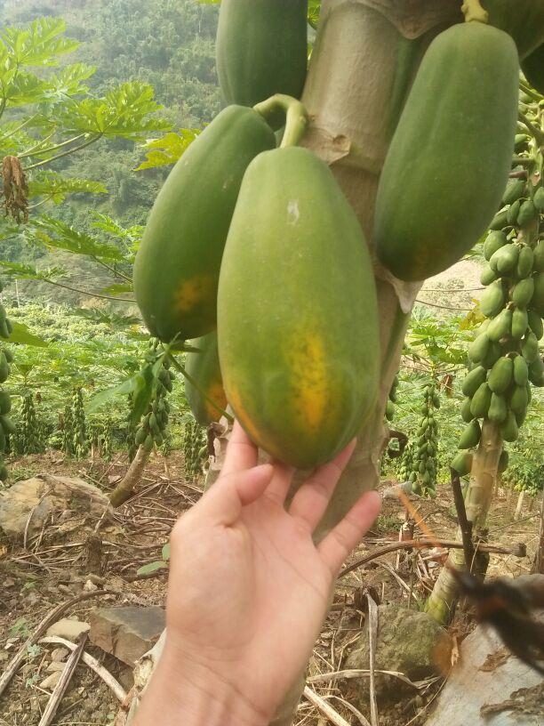 大白木瓜 2.5~3斤