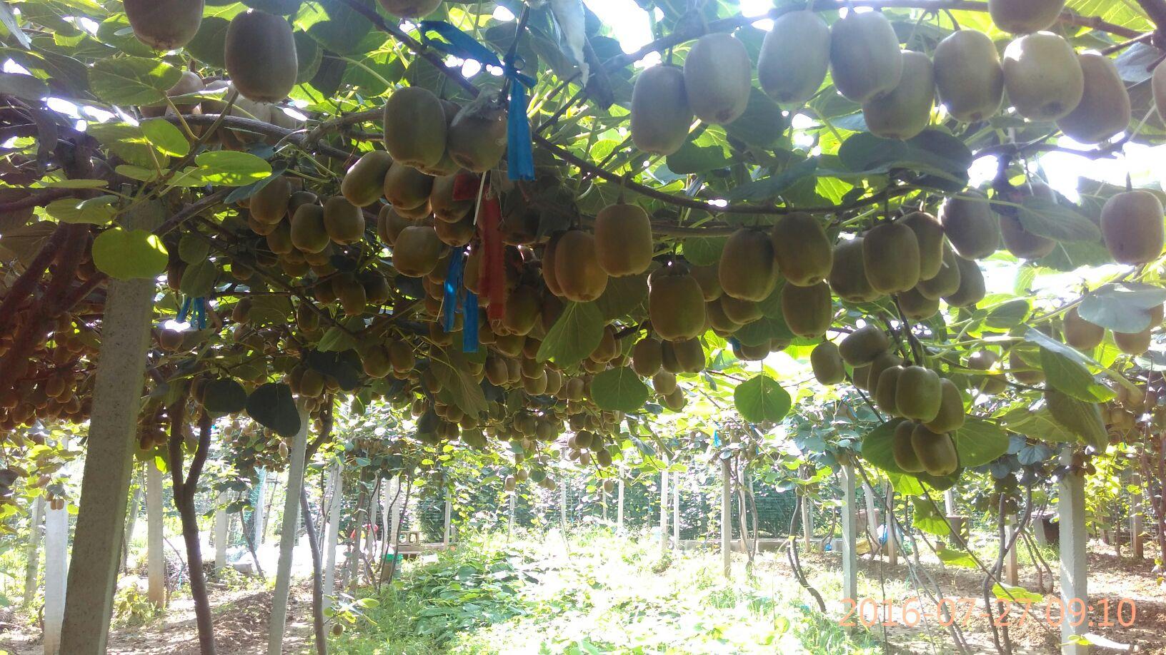 我们提供优质猕猴桃树苗以及指导服务.
