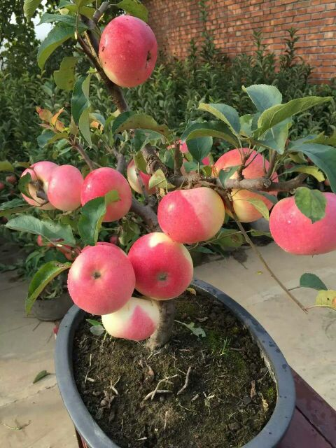 供应大厅  花卉盆景  苹果树  苹果树 80~100cm