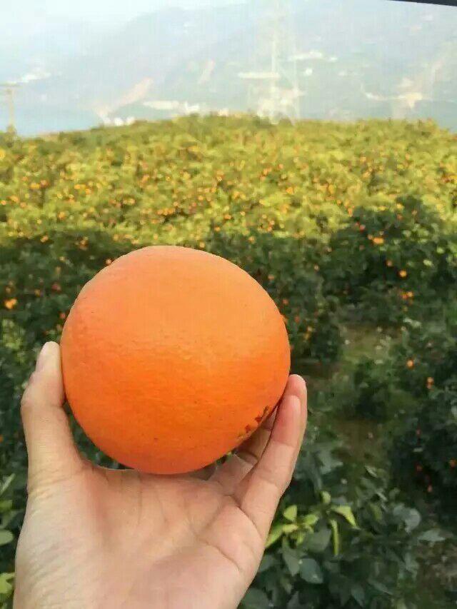 湖北宜昌市秭归县橙子 70~80mm 鲜果批发_乔
