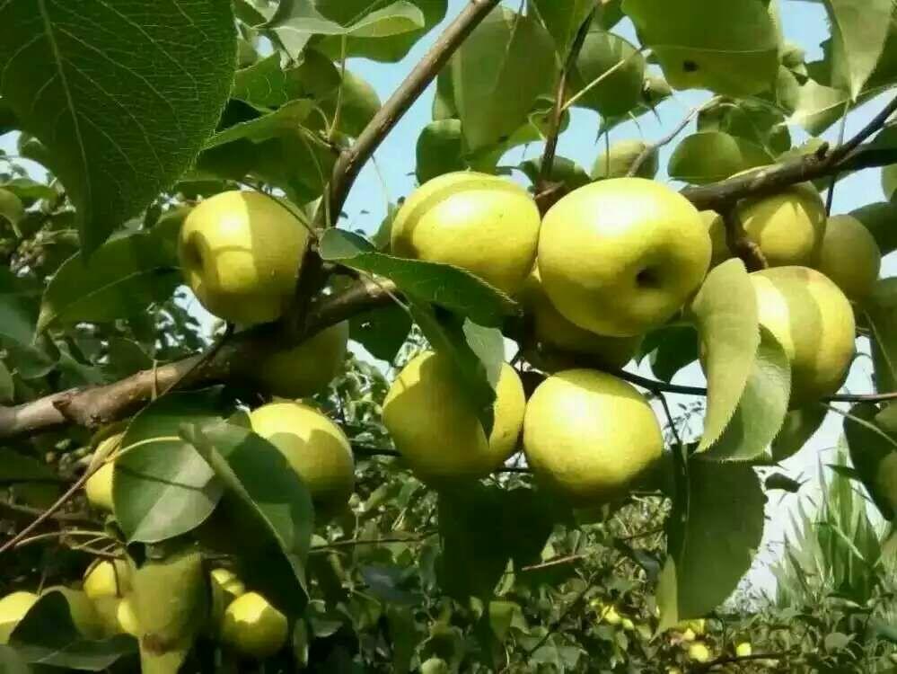 梦见梨树上有坏梨