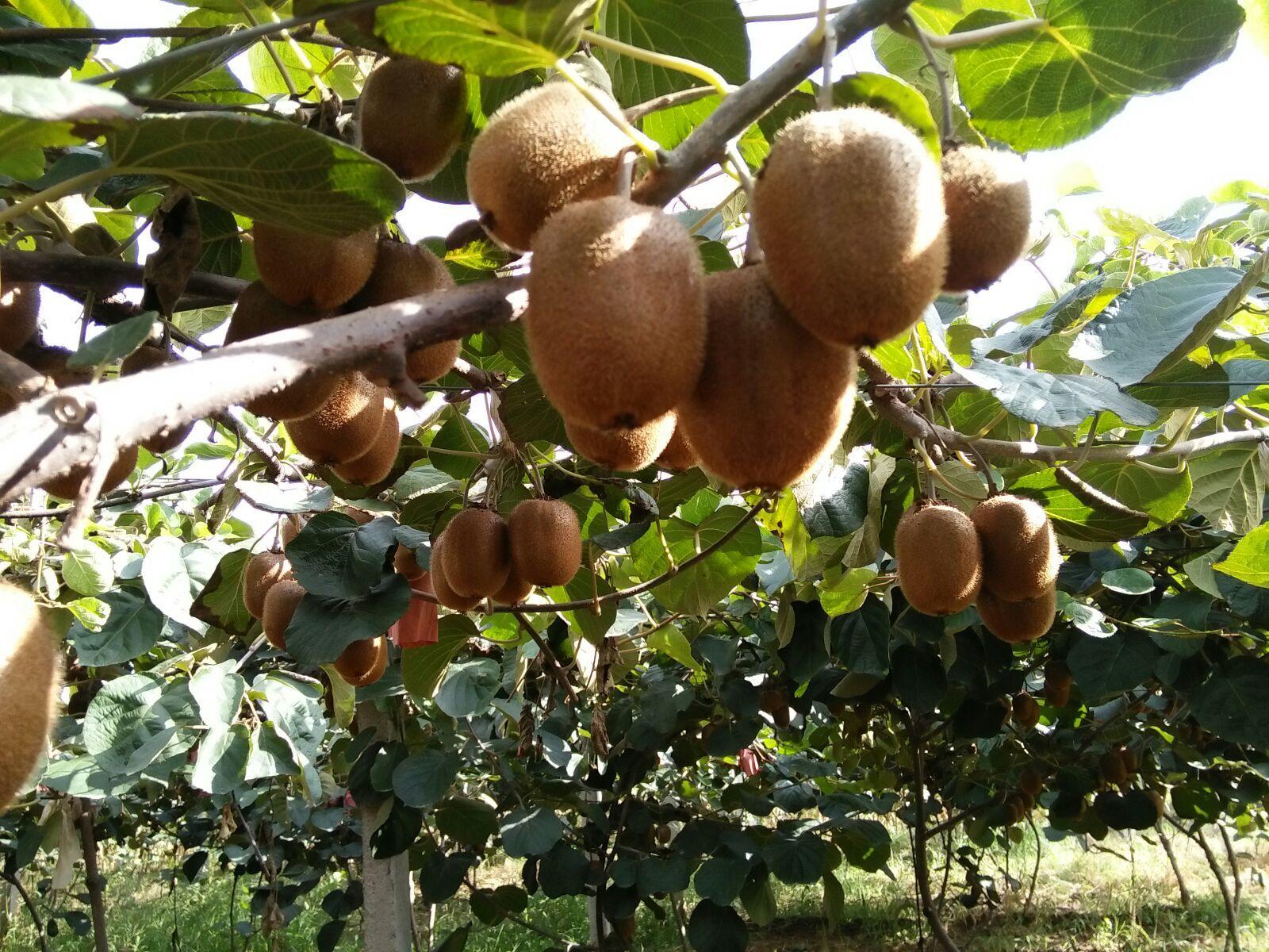 猕猴桃有机肥施肥技术方法
