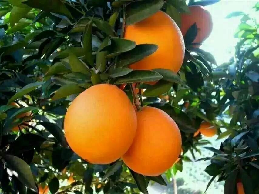 湖北宜昌特产-----秭归脐橙