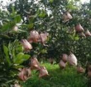 达川  水果