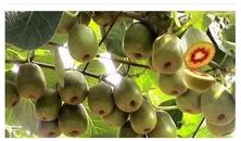 为啥这个猕猴桃能卖大钱!