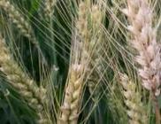 """安徽省抓好""""五个到位""""防控小麦赤霉病"""