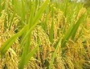 湖南永定区粮食生产风生水起
