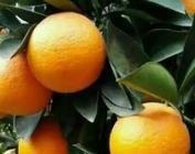 """湖北秭归发力供给侧改革  """"小脐橙""""变身""""致富果"""""""