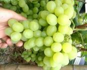 如何把巨峰葡萄卖出高价,一亩田出大招!