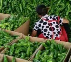 辣椒称雄中国蔬菜界 遵义市发力超湖南四川两省