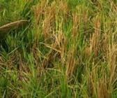 重庆市大力推广优质再生稻标准化技术成效明显