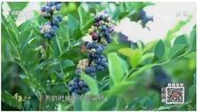 不惑之年投4800万 他种出最甜蓝莓