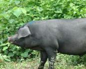 猪肉安全知多少?——关于猪养殖的几个小常识