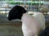 龙江县当前肉羊生产效益十分可观